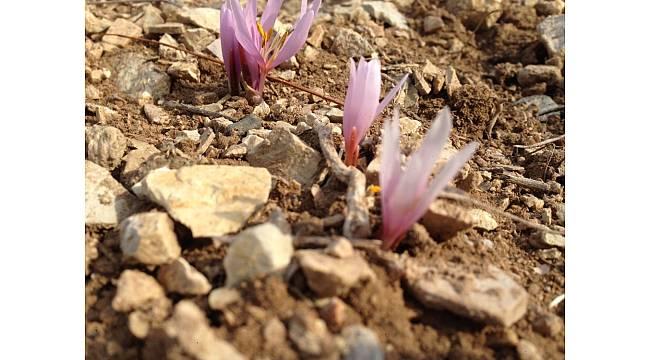 Oltu'da Kar Çiçekleri açtı